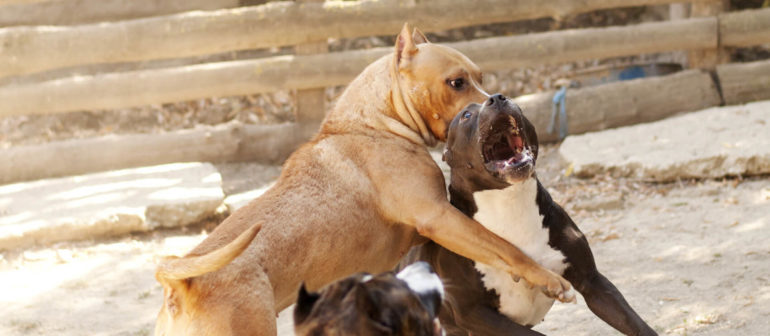 Собачьи бои или бизнес, замешенный на крови?