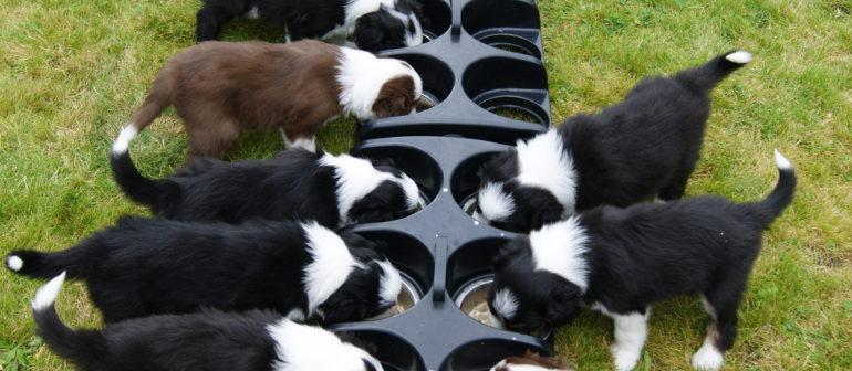 Как правильно кормить собак