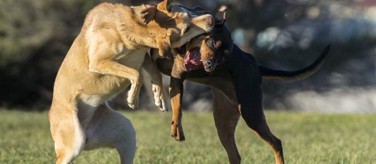 Кто они, бойцовские собаки?