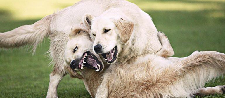 Мифы о собачьих боях