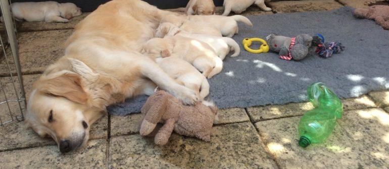 В ожидании щенков