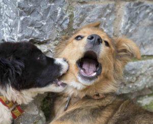 Если питомца покусали собаки