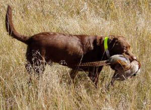собака на охоте_1