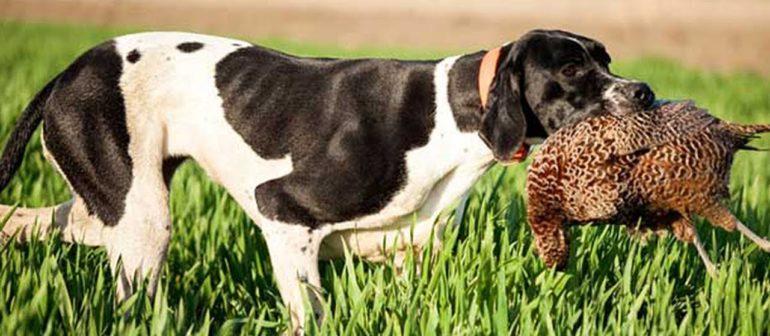 Выбираем собаку для охоты.