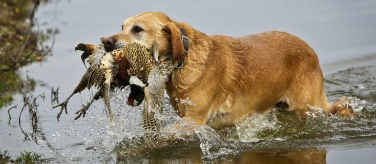 Нужна ли собака на охоте?